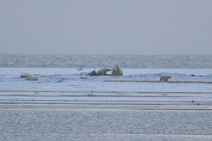 Paul - Polar Bears