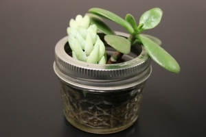 Succulent - small