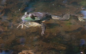 Frog - Detroit Zoo Family Education Programs