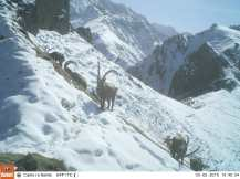 Trail camera - China ibex