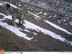 Snow leopards trail camera - China