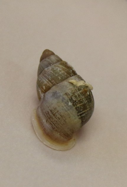 Partula Snail - Jennie Miller