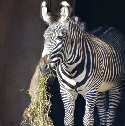 Patti Truesdell - Zebra