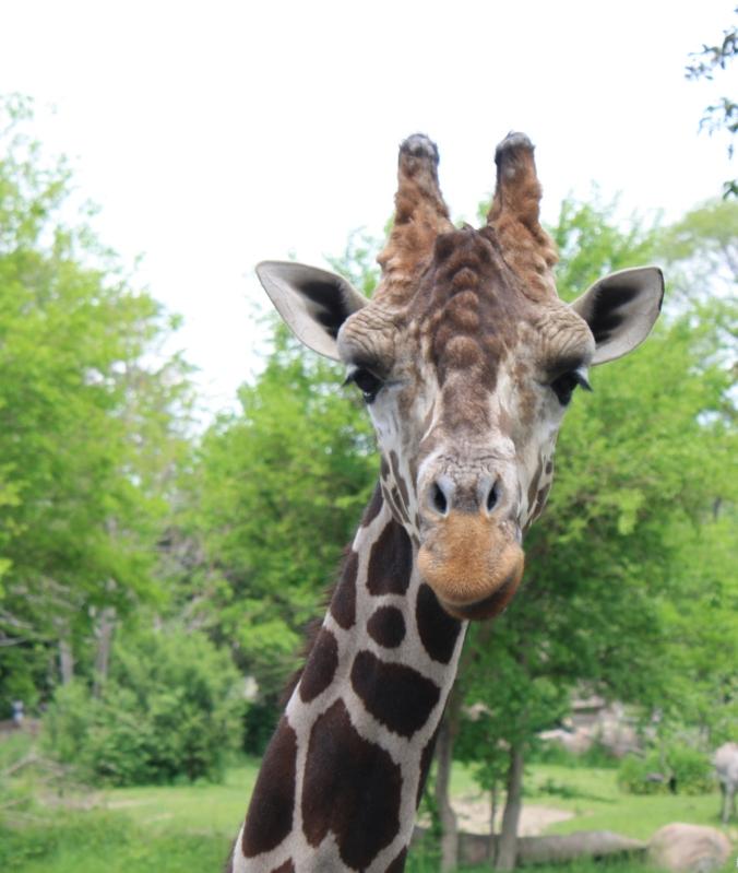 Jabari the giraffe