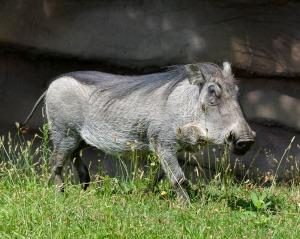 Warthog - Roy Lewis