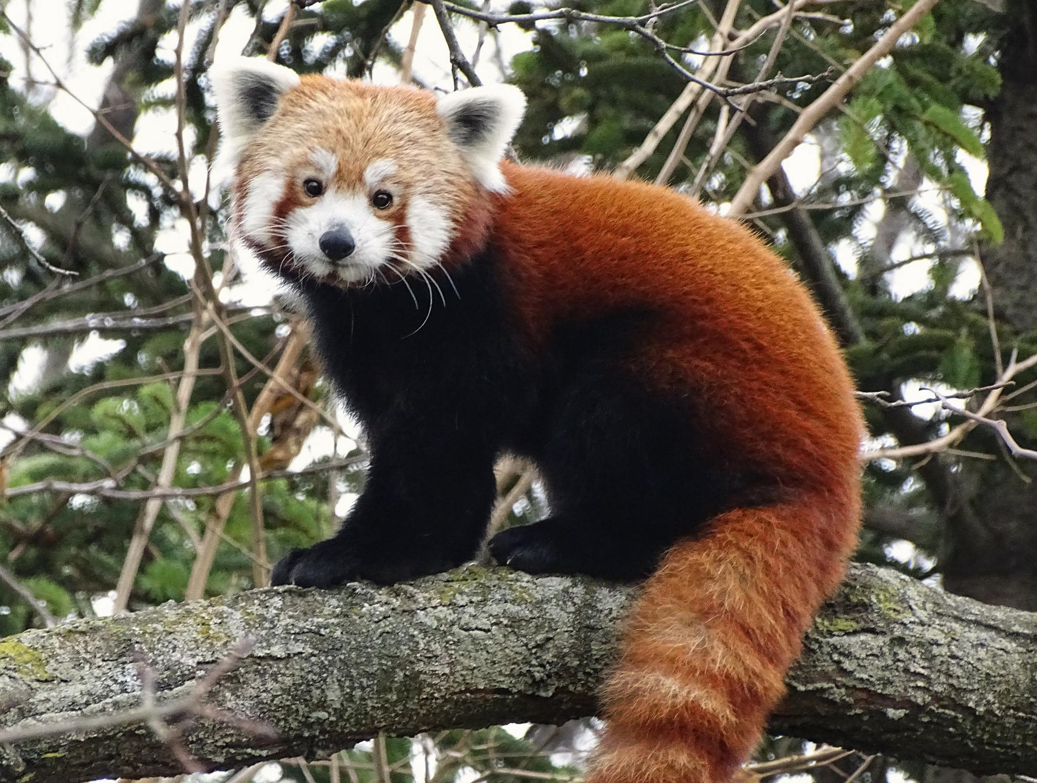 panda pandas animal eye zoo welfare society detroit word zoological