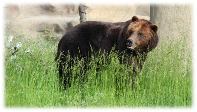 grizzly grass.jpg