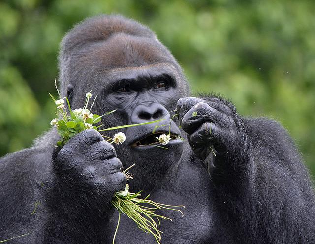 gorilla browse roy lewis