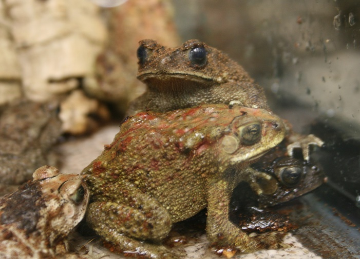 TX-black spiny toads