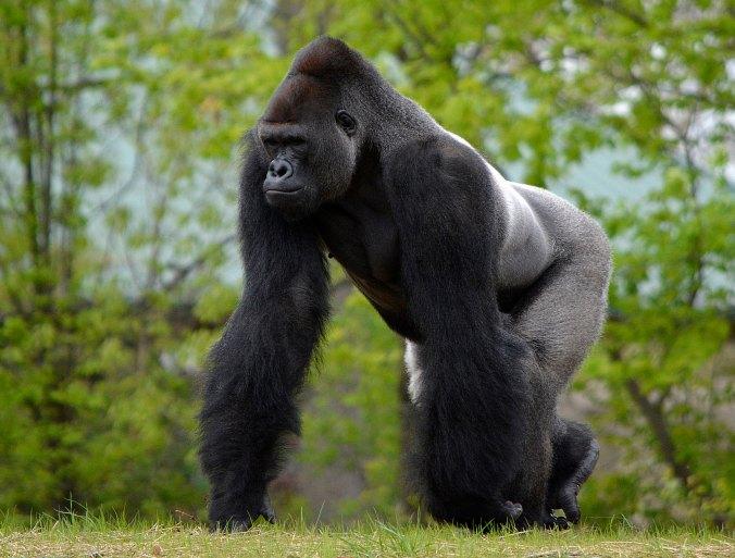 Gorilla 5 - Roy Lewis