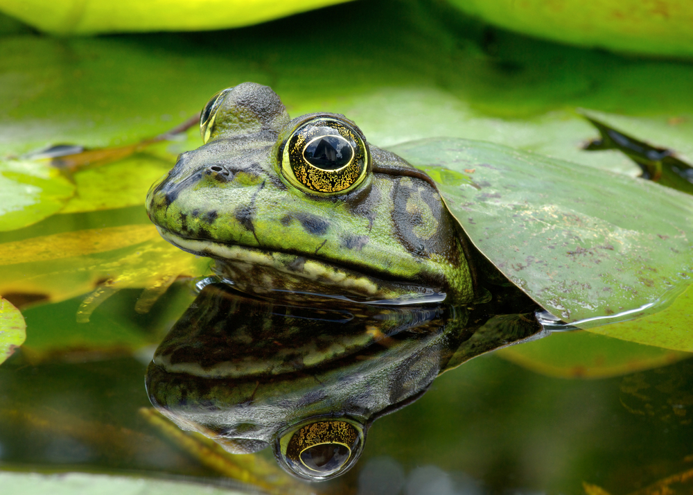 FrogWatch - Bullfrog