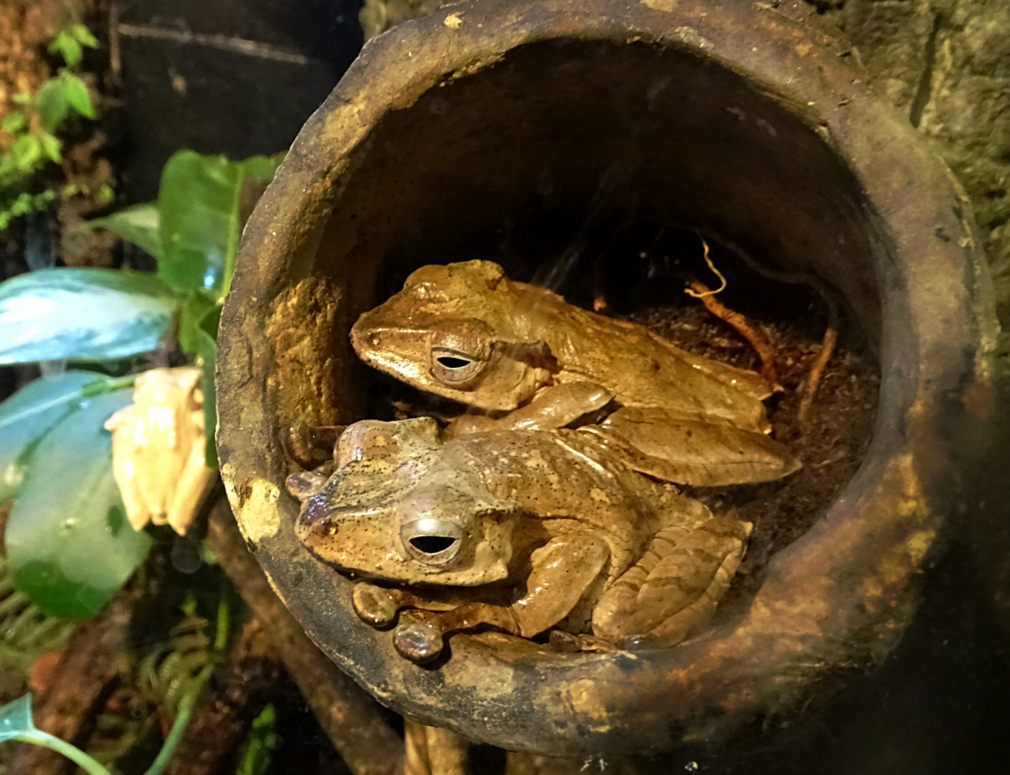PT Borneo eared frog